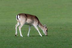 Un cerf commun affriché femelle frôlant dans un domaine herbeux image stock