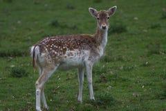 Un cerf commun affriché femelle vigilant Image stock