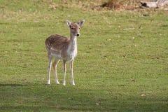 Un cerf commun affriché femelle vigilant Photographie stock libre de droits