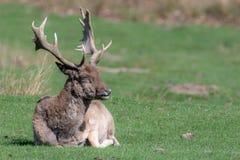 Un cerf commun affriché masculin détendant dans un domaine images stock