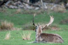 Un cerf commun affriché masculin détendant dans un domaine images libres de droits