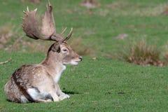 Un cerf commun affriché masculin détendant dans un domaine image stock