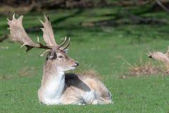 Un cerf commun affriché masculin détendant dans un domaine image libre de droits