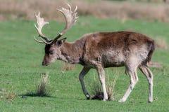 Un cerf commun affriché masculin marche par un champ herbeux photos stock