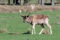 Un cerf commun affriché masculin marche par un champ herbeux photographie stock