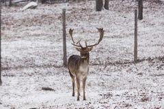 Un cerf commun affriché masculin solitaire dans un domaine neigeux Photographie stock libre de droits