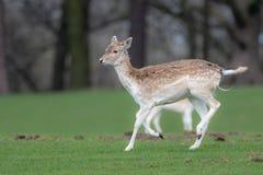 Un cerf commun affrich? femelle fonctionnant par un champ herbeux image stock