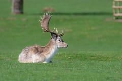 Un cerf commun affrich? masculin d?tendant dans un domaine photo stock