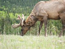 Un cerf commun alimentant sur les Rocheuses canadiennes photo libre de droits