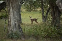 Un cerf commun de bébé de Whitetail regarde fixement de retour photo stock