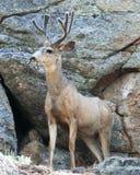 Un cerf commun de mule Images libres de droits