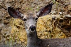 Un cerf commun de mule de daine Photos stock