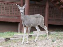 Un cerf commun de mule de daine Photos libres de droits