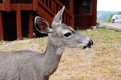 Un cerf commun de mule de daine Images stock
