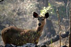 Un cerf commun de sambar Image libre de droits