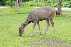 Un cerf commun de sambar mangeant l'herbe au sol images stock