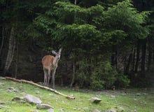 Un cerf commun femelle frôle dans la région boisée Photo stock