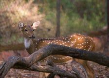Un cerf commun repéré images stock