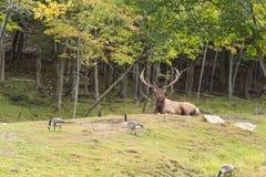 Un cerf commun rouge solitaire dans les bois Photos libres de droits