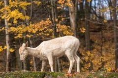 Un cerf commun solitaire dans une forêt Photos stock