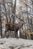 Un cerf commun solitaire dans une forêt Photographie stock