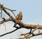 Un cerf-volant affiché par jaune, Botswana Photographie stock