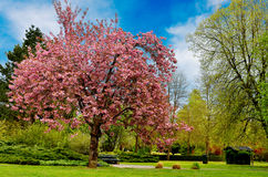 Un cerisier Photos libres de droits