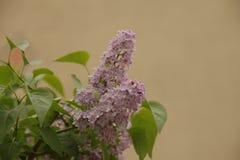 Un certain hyacinthi images libres de droits
