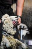 Un certain type coupe la laine de moutons pour être des vêtements Photos libres de droits