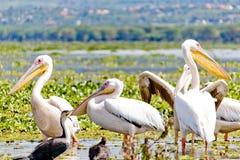 Un certo Pelicanos nel lago Naivasha Fotografie Stock