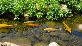 Un certo swimmimg di auratis del Carassius in stagno all'aperto archivi video