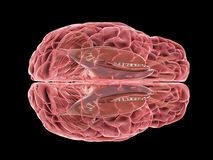 Un cerveau humain illustration libre de droits