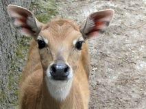 Un cervo è in uno zoo, guarda in una camera fotografia stock libera da diritti