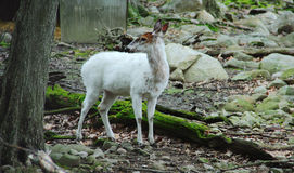 Un cervo bianco Immagini Stock Libere da Diritti