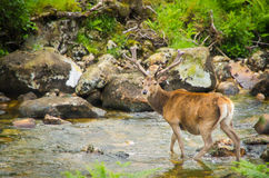 Un cervo con i corni che guarda in una corrente in una foresta Immagini Stock