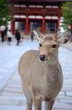 Un cervo davanti al tempiale Fotografia Stock