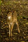 Un cervo del bambino sull'erba Immagine Stock Libera da Diritti