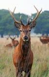 Un cervo di autunno nella sosta di Richmond Fotografia Stock Libera da Diritti