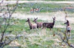 Un cervo di whitetail. immagini stock libere da diritti