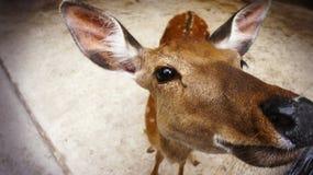 Un cervo felice con un naso bagnato si incontra fotografie stock libere da diritti