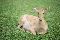 Un cervo femminile Fotografie Stock Libere da Diritti