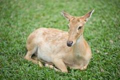 Un cervo femminile Fotografia Stock Libera da Diritti