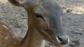 Un cervo femminile che guarda tenero da qualche parte in uno zoo nel slo-Mo archivi video