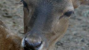 Un cervo femminile che sta calorosamente e che dà un'occhiata in uno zoo nel slo-Mo archivi video