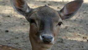 Un cervo femminile che sta e che dà un'occhiata direttamente in uno zoo stock footage