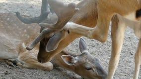 Un cervo macchiato maschio bacia un cervo femminile di estate nel slo-Mo stock footage