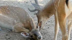 Un cervo macchiato maschio lecca un cervo femminile di estate nel slo-Mo stock footage