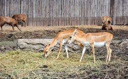 Un cervo mangia l'alimentazione semplice Fotografia Stock