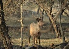 Un cervo maschio alla mattina Fotografia Stock Libera da Diritti