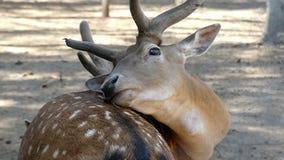 Un cervo maschio marrone si trova e lecca la sua pelle di estate nel slo-Mo video d archivio